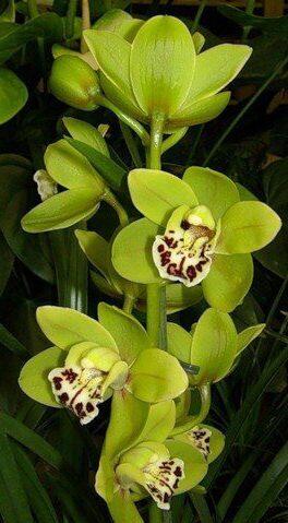 орхидея фото зеленая